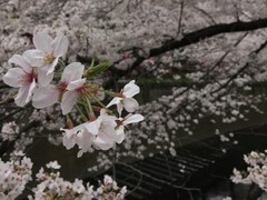 目黒川桜ー