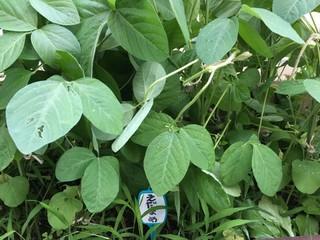 今年の枝豆(^^;;