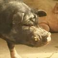豚のぷ~さん