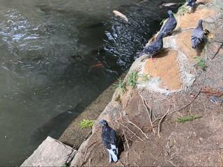 近所の香椎宮で、鳩と鯉にエサ投げながら思う。